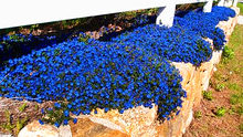 100 pcs/bag Creeping Thyme Seeds or Blue Rock Cress Seeds Perennial Ground cover flower seeds, ourdoor plant for home garden