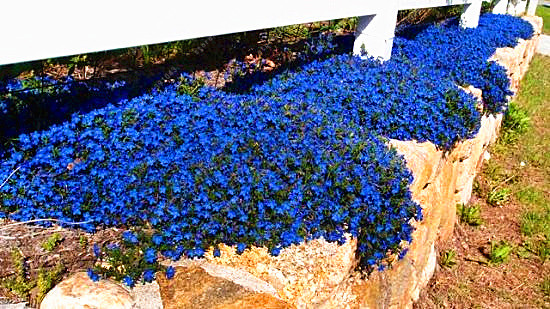 Online shop 100 pcsbag creeping thyme seeds or blue rock cress 100 pcsbag creeping thyme seeds or blue rock cress seeds perennial ground cover flower seeds ourdoor plant for home garden mightylinksfo