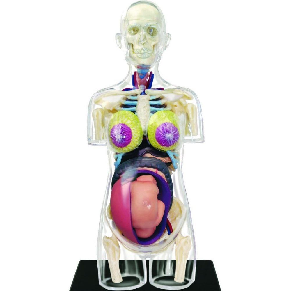 Charmant Medizinische Bilder Der Weiblichen Anatomie Fotos ...
