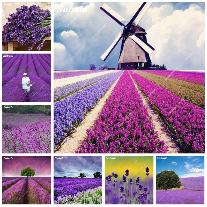 1000 pcs bag French Provence Lavender Flower Bonsai Potted Fragrant Outdoor Natural Growth Home Garden Plant for Children Gifts