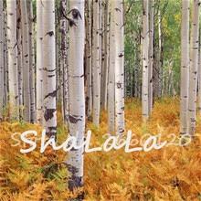 White Birch Tree Seed Betulaceae Hardwood 100pcs