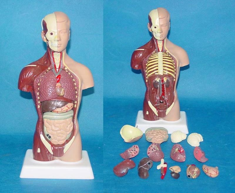Male Torso 15 Parts Mannequin 28cm Human Body Model Human Torso
