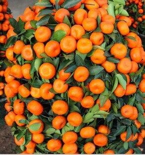 50 SEEDS - China Heirloom Climbing Orange Tree Seeds bonsai fruit plant seeds *