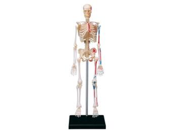 4d Anatomia Esqueleto Humano Esqueleto Modelo de Montagem do enigma Brinquedo Médica Auxiliar de Ensino de Laboratório de Educação Equipamentos mestre