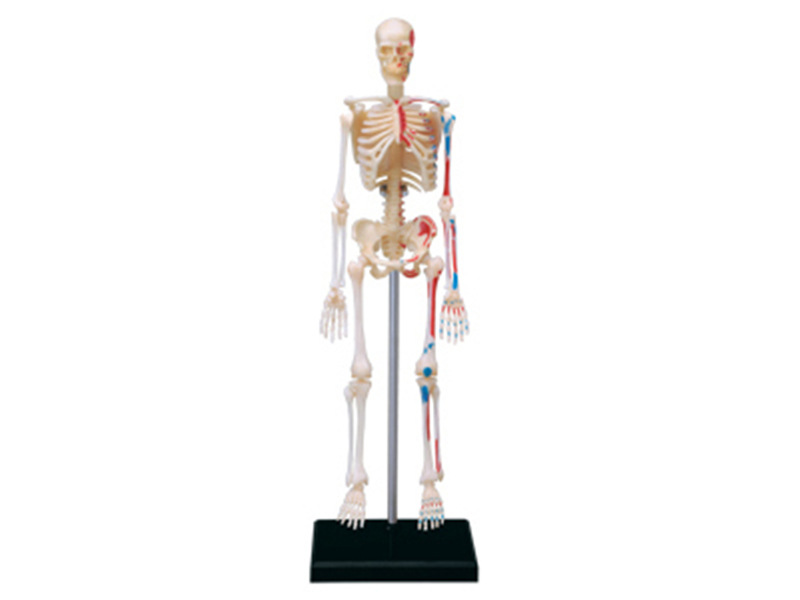 4d Human Skeleton Anatomy Model Skeleton Puzzle Assembling Toy Medical Teaching Aid Laboratory Education Equipment Master