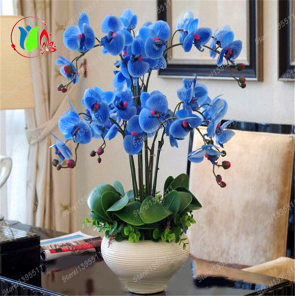Rare Orchid Bonsai Blue Butterfly Orchid Seeds Beautiful Phalaenopsis 100 PCS Free Shipping