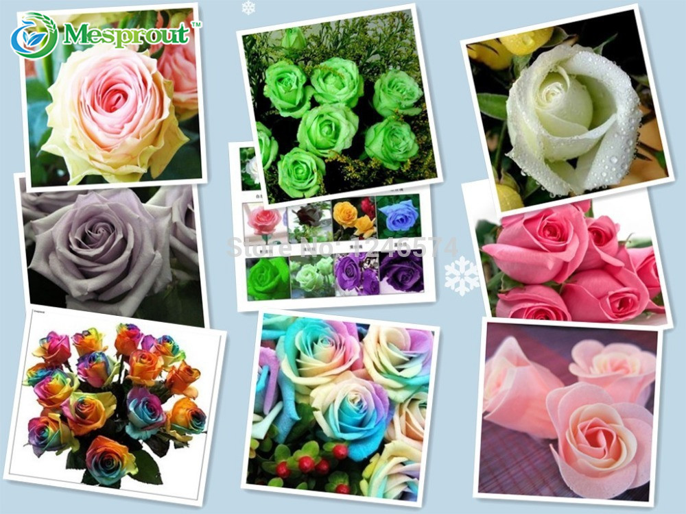 On sale! 500pcs 10colors Chinese Rose Seeds - Pink Black White Red Purple Green Blue multi-colored rainbow Rose flower Seeds