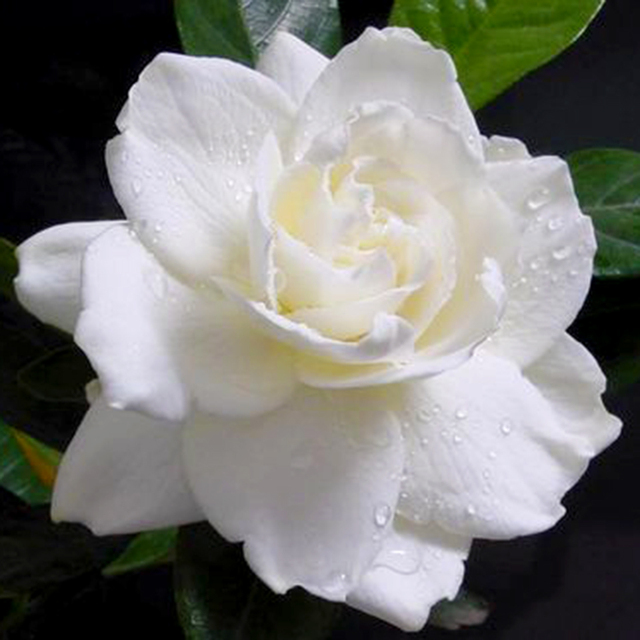 big promotion rich aroma 5 cape jasmine flower seeds scent easily