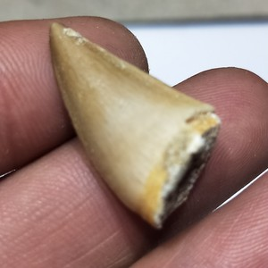 Image 3 - 1 pcs 20 30mm טבעי בעלי החיים מאובנים mosasaur שיניים מאובנים מינרלים דגימות עבור אוסף כמו מתנה דקור תליון משלוח חינם