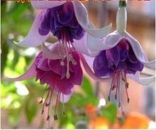 10Pcs Fuchsia Tree Seeds