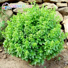 100pcs Large Leaf Basil Seeds japanese Ocimum Basilicumspices Aromatic Herb Seeds Very Easy Grow Free Shipping