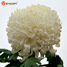 Flower Seeds Potted White Chrysanthemum Seeds Beautiful Potted Plant Seeds 100 Particles / lot