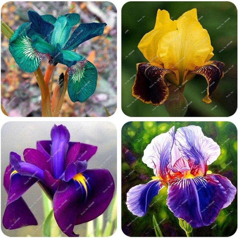 Orchidea semi di fiore acquista a poco prezzo orchidea for Semi orchidea