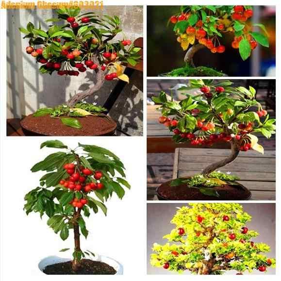 Big verkauf! 10 stücke zwerg bonsai kirsche baum echt grün gesundes obst topf mehrjährige obst hause garten pflanzen