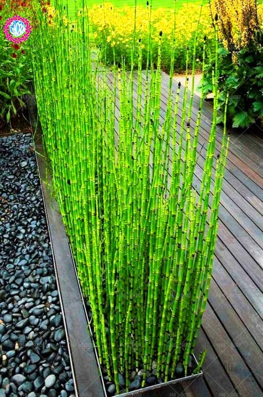 100 PCS Seeds African Marigold Osteospermum Ecklonis Flowers Perennial Garden X