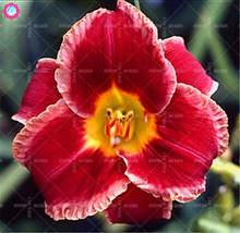 50pcs daylily flowers seeds Hemerocallis lily Indoor Bonsai Flower Seeds Perennial Plant For DIY Home Garden supplies Decoration