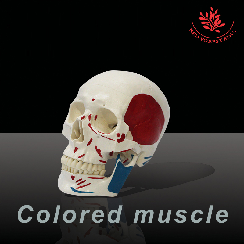 Medical science colored muscle origins and insertions  in half head life size plastic skull model aamir al mosawi medical journals editorship and medical editing