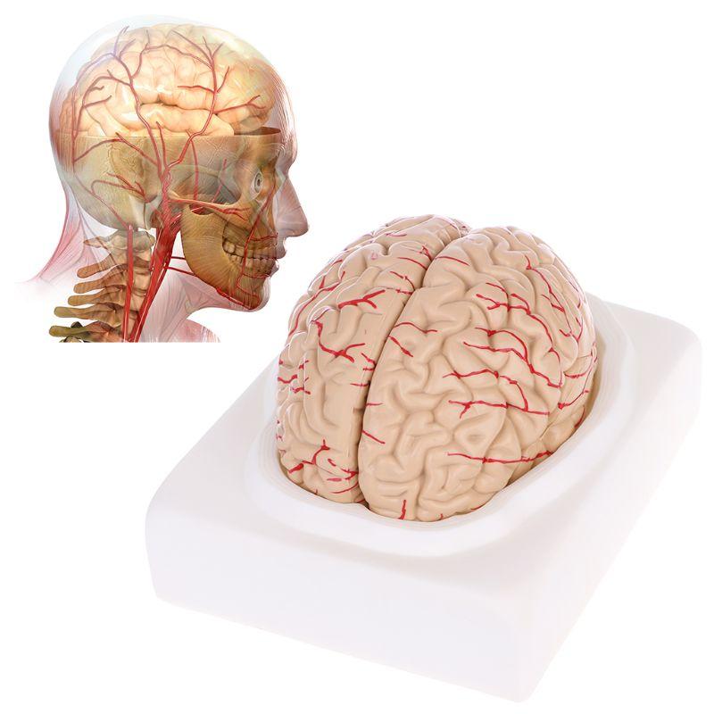 Outil d'enseignement médical d'anatomie de modèle anatomique de cerveau humain démonté par affranchissement gratuit