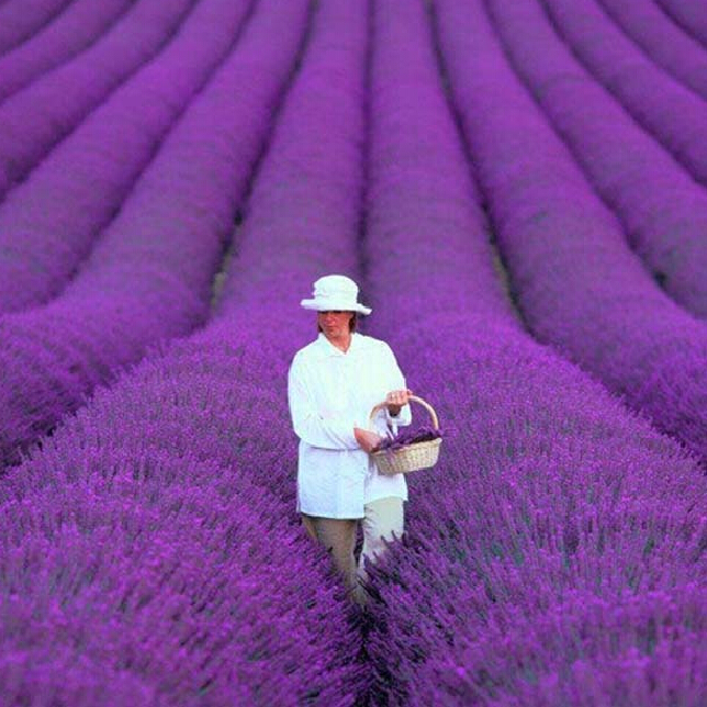 200 pcs bag french provence lavender seeds very fragrant organic - French Lavender