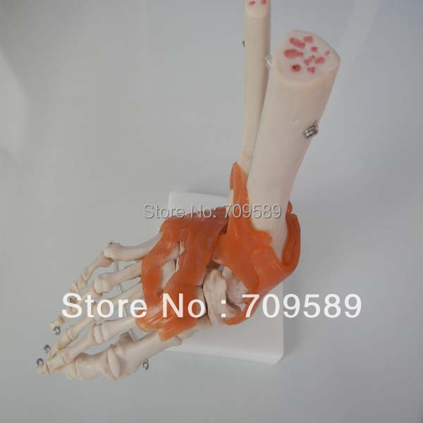 life-size foot joint with ligaments life size hand joint with ligaments the palm of your hand with ligament model