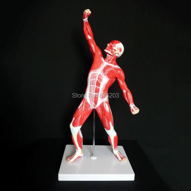 Online-Shop 1/4 lebensgroße Anatomische Menschlicher Muskel ...