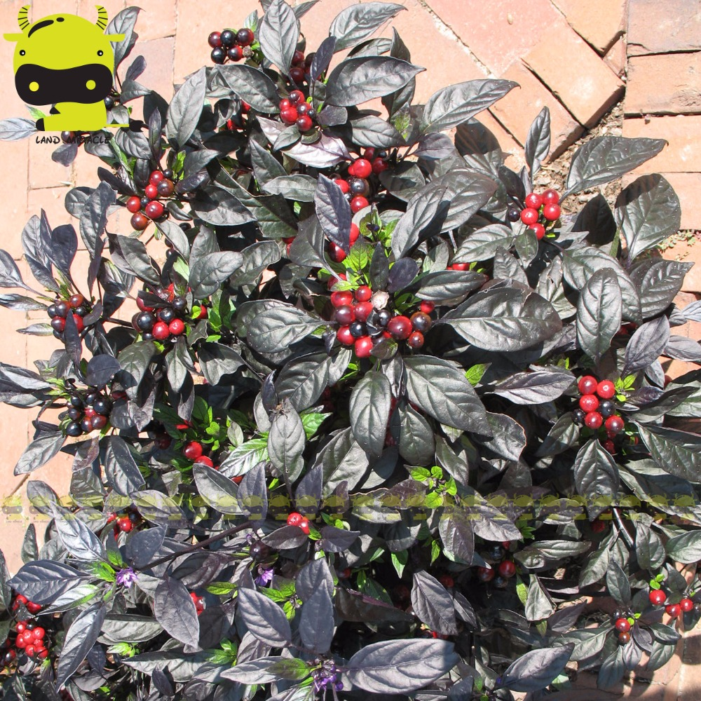 100% Real Hot Pepper Capsicum annuum Ornamental Chili Seeds, 100 Seeds/Pack, Mini Black Pearl Pepper Bonsai Seed ...