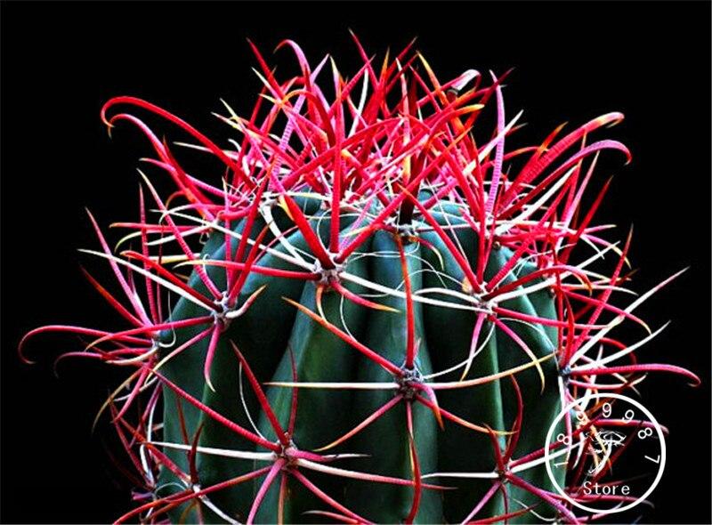 Coltivare Fiori.100 Pz Pacco Best Vendita Red Barrel Cactus Facile Da Coltivare