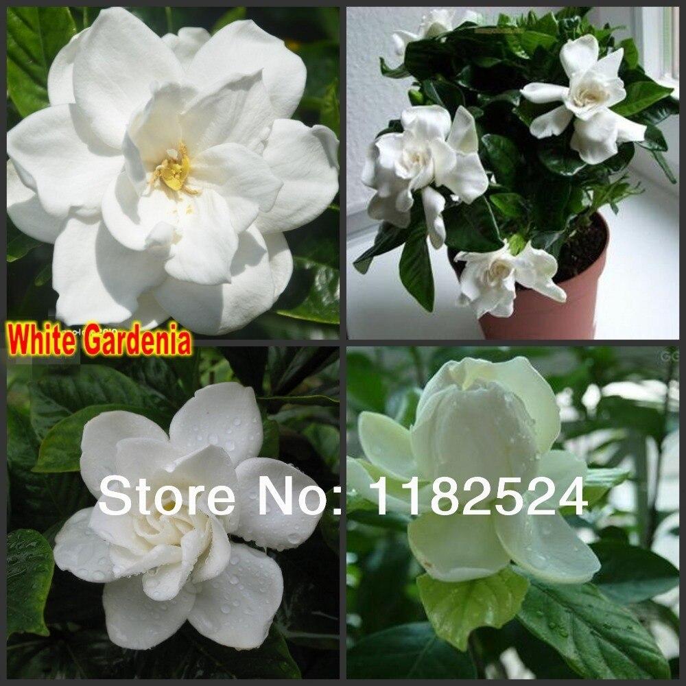 50 gardenia cape jasmine jasminiodes white shrub flower seeds in 50 gardenia cape jasmine jasminiodes white shrub flower seeds in bonsai from home garden on aliexpress alibaba group izmirmasajfo