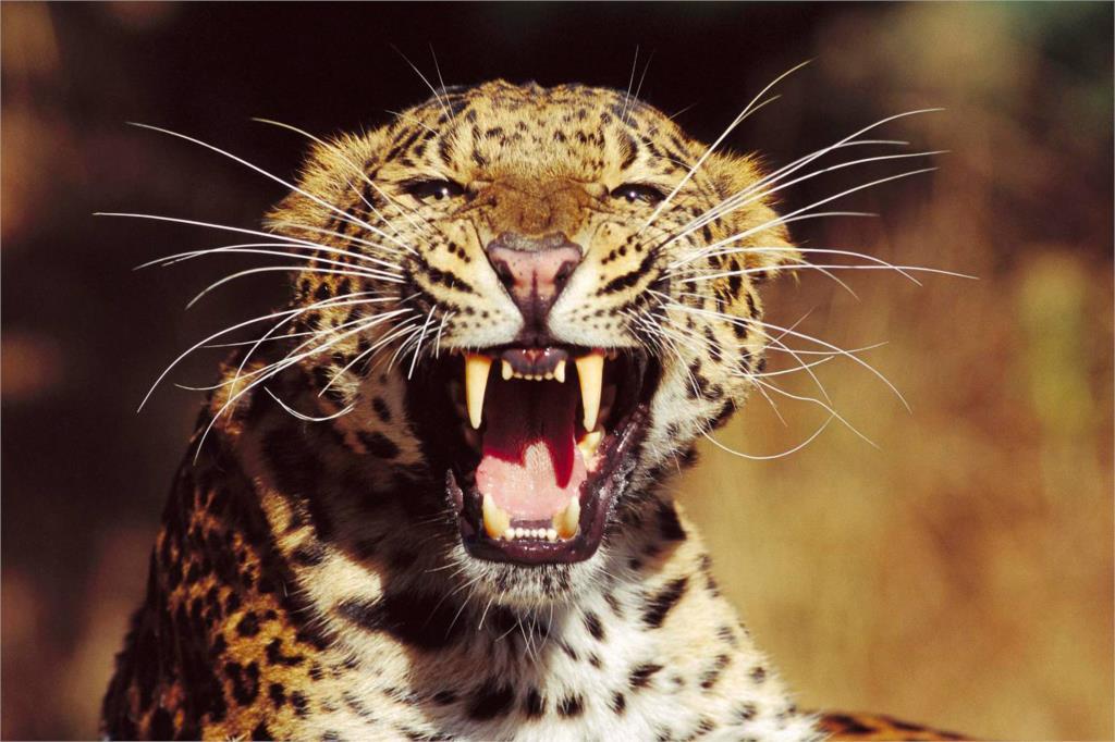 DIY marco feroz Reiki guepardos leopardo animal carteles e ...