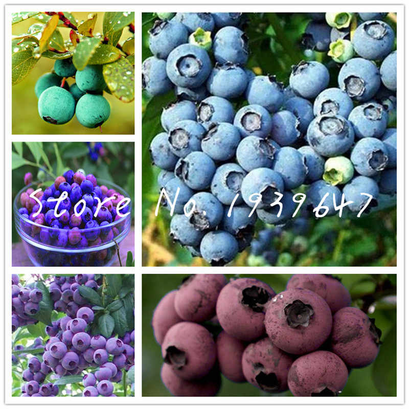 Blueberry bonsai 100 pcs Mini fruit tree Highbush Blueberries DIY Countyard Bonsai plants for home & garden easy to grow