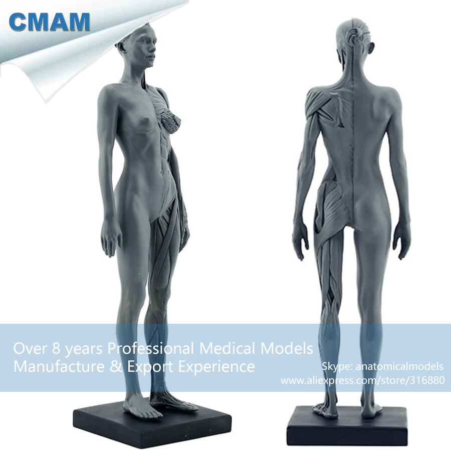 CMAM PRC02 30cm Human Female Model Anatomy Skull Head Muscle Bone ...