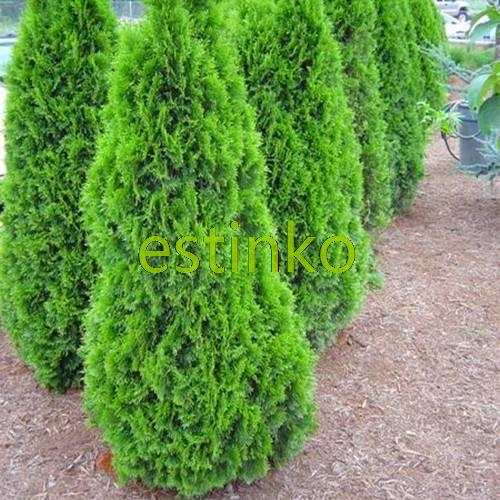 Charming Hot Selling 50pcs Cypress Trees Seeds Conifer Seeds DIY Home Garden Free  Shipping