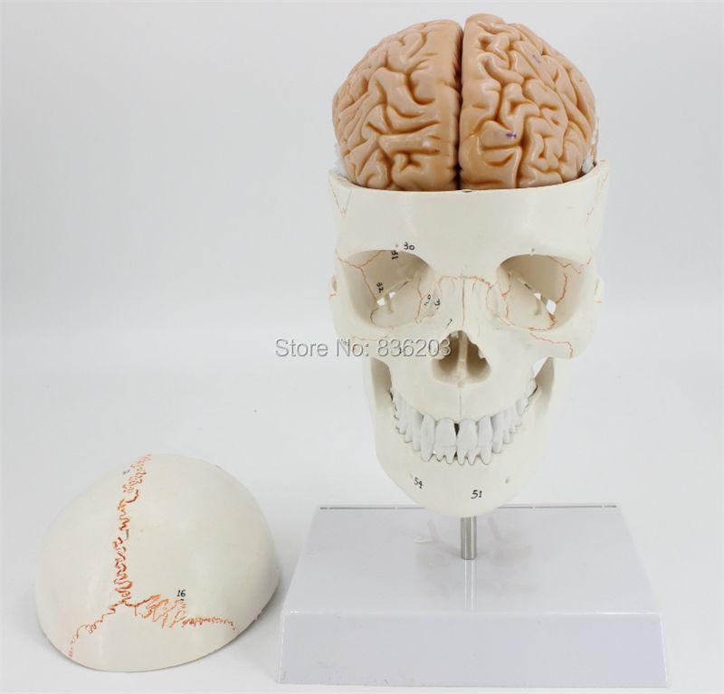 Menschlichen Lebens Größe Nummeriert Schädel Halswirbel mit Nerven ...