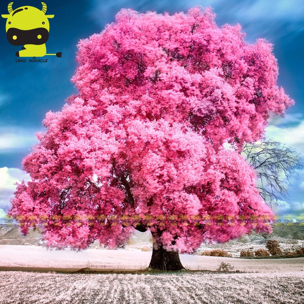 Aliexpress Buy Land Miracle Japanese Pink Cherry Blossom
