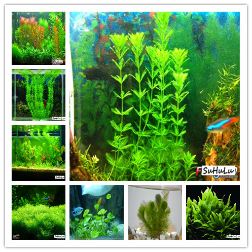 1000 Pcs Aquarium Grass Bonsai Water Aquatic Plant Bonsai Live Moss Gras Easy To Grow