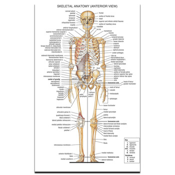 Skeletal System Poster Science and Education Medicine Home Decoration Poster Picture Print 30x48cm 50x80cm 60x96cm
