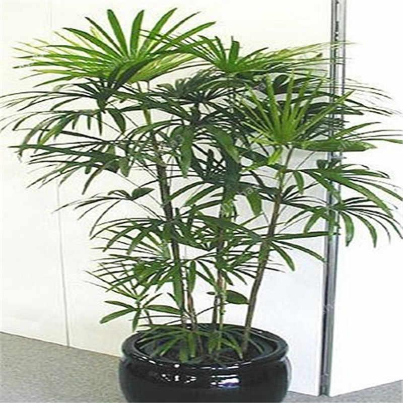 30pcs di lucky piante di bambù bonsai buona fortuna piante vitalità tenace balcone soggiorno casa giardino bonsai
