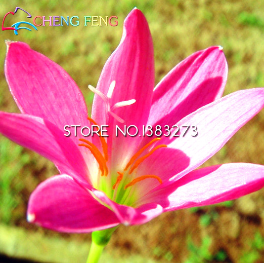 Japanese lily flower ug99 30pcs pink rain lily seeds pretty flowers seed rare mini flores grass garden plants japan planter mightylinksfo Image collections