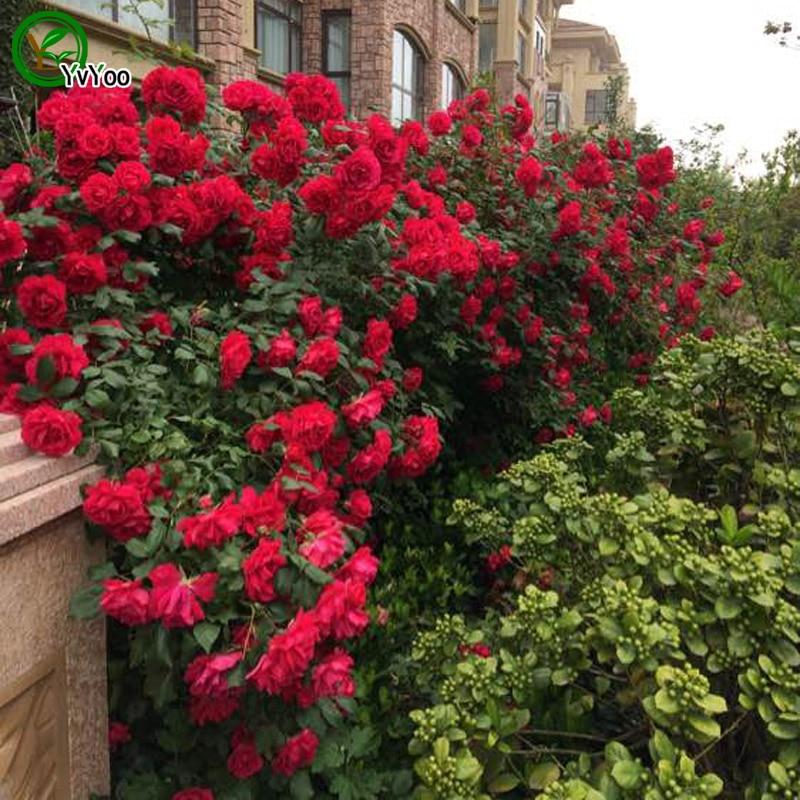 acquista all'ingrosso online rose rampicanti rosso da grossisti ... - Piante Da Giardino Rampicanti