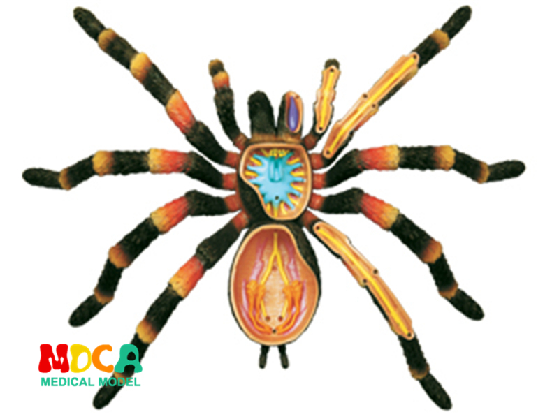Spider 4d master puzzle Assembling toy Animal Biology organ anatomical model medical teaching model spider 4d master puzzle assembling toy animal biology organ anatomical model medical teaching model
