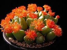 100pcs Wholesale 100% authentic Mix Lithops Pseudotruncatella seeds Succulent Plants seed rare plants,  Bonsai organic 88