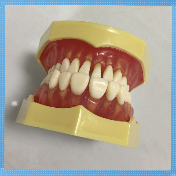 28pcs removable model dental teeth model for educational training and simulation high quality advanced phantom head apply to dental simulation training of teeth scaling handpiece positioning taking impressions