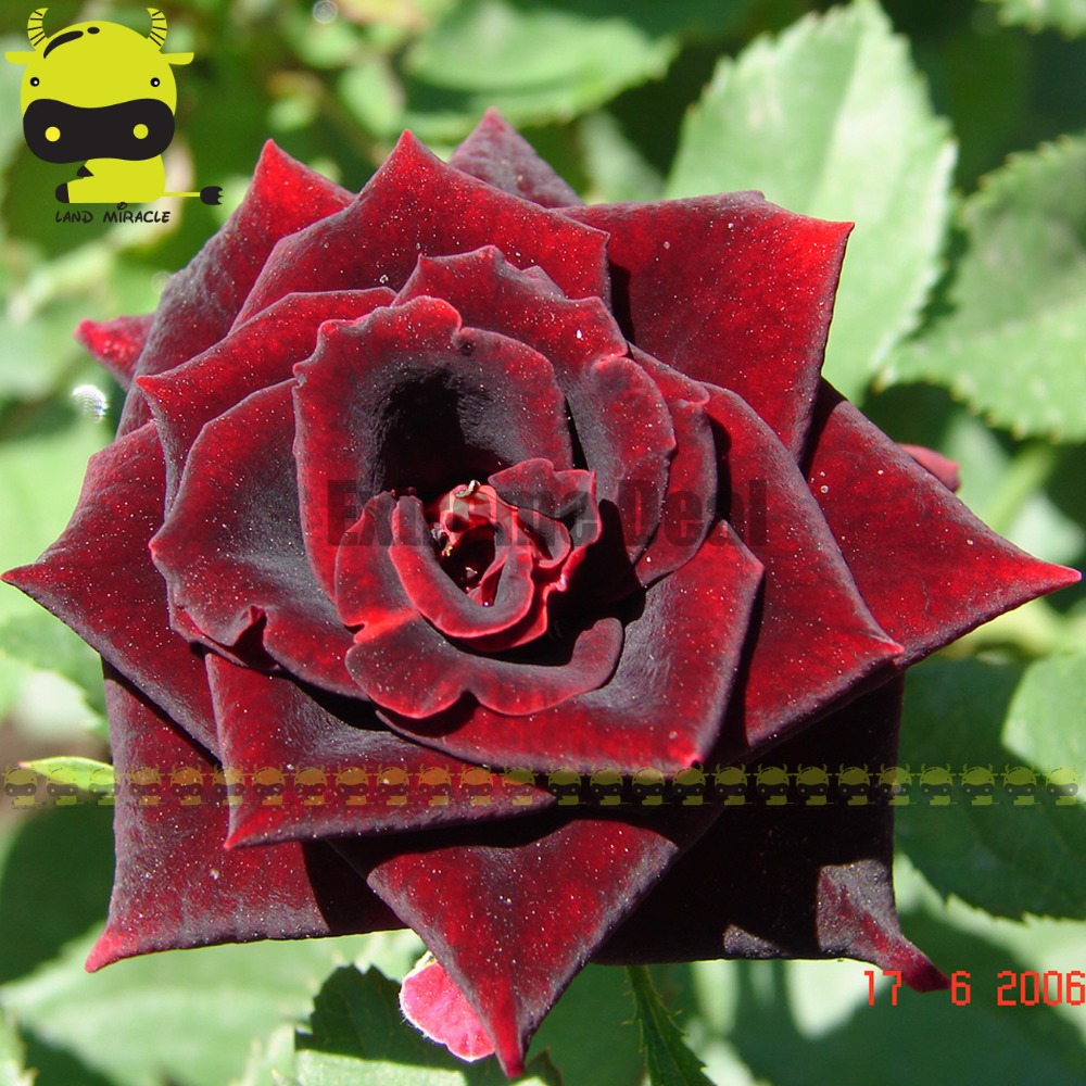Heirloom Magic Red Black Rose Flower Seed 50 Seeds Bonsai