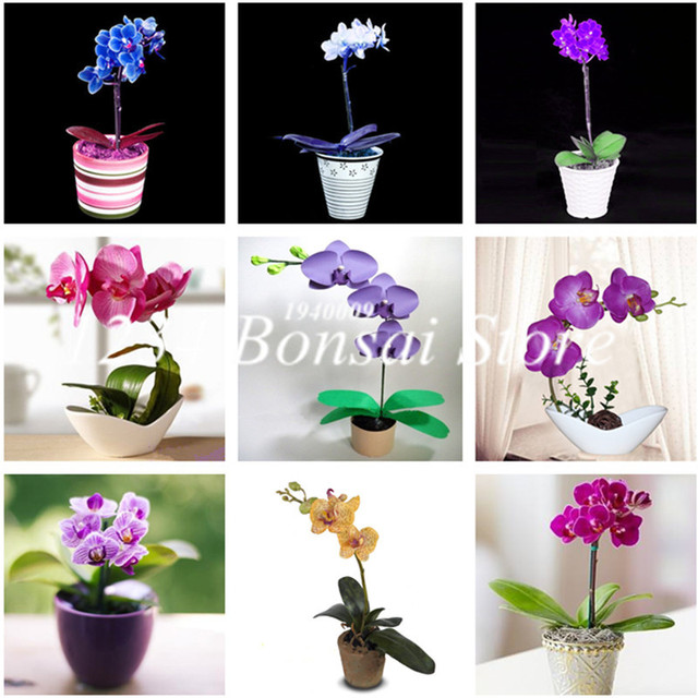 200 pz Mini Orchidea Bonsai Fiore flores, Ufficio Desktop di Fiori, indoor Piant
