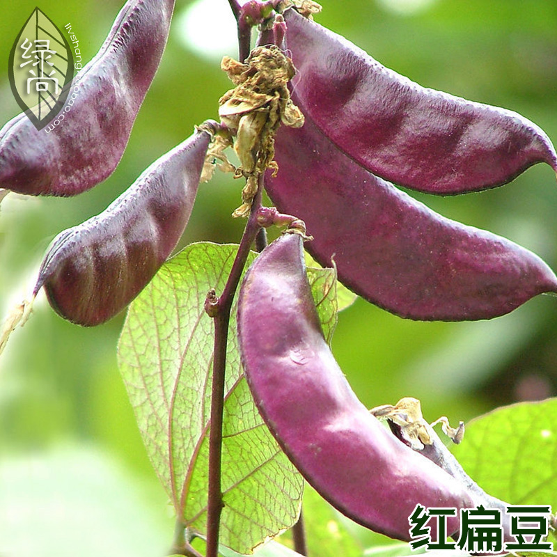 Purple lentils Seeds red lentils Meadow Peas Seasons sowing Garden Terrace potted vegetable 5seeds