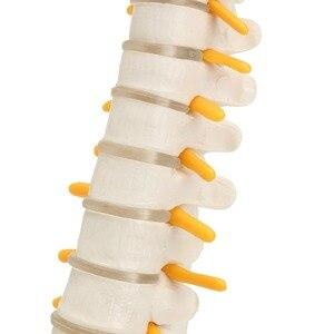 Image 5 - 골반 모델 45cm 인간의 척추 인간의 해부학 해부학 해골 용품 및 장비 의료 척추 칼럼 모델