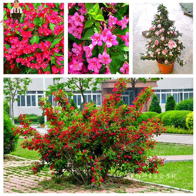 Tohum belle weigela fleur graines rare nain bonsa for Jardin fleurs vivaces