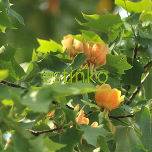 50pcs Liriodendron Tulipifera Seeds Beautiful Foilage Plant Tree