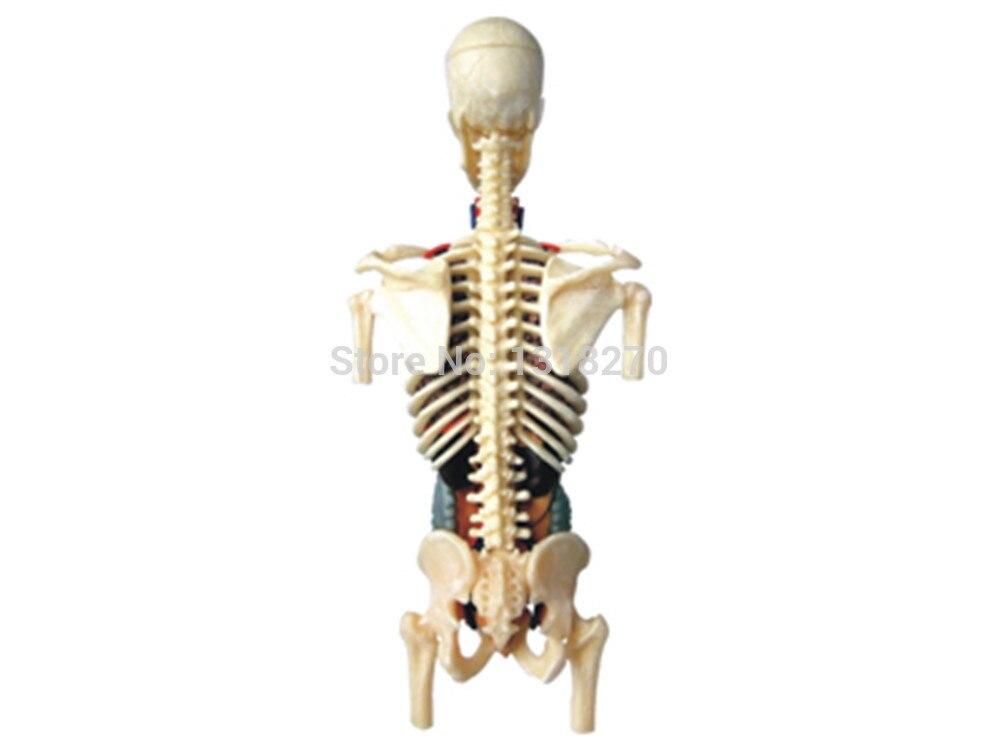 Wunderbar 4d Menschliche Anatomie Modell Zeitgenössisch - Anatomie ...