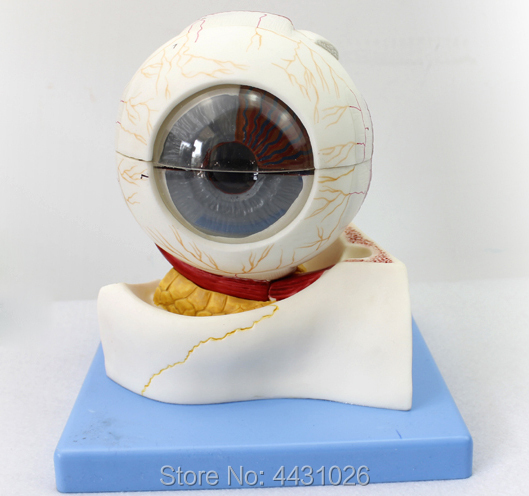 ENOVO The ophthalmic structure of medical human body magnifies the model of ophthalmology of the ophthalmology department the story of the human body